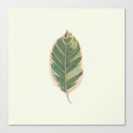 Rubber Tree Ficus Elastica Variegata Canvas Print