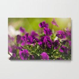 Purple pansies flowering bunch Metal Print
