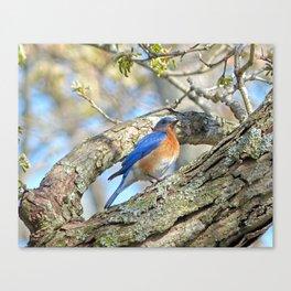Bluebird in Tree Canvas Print