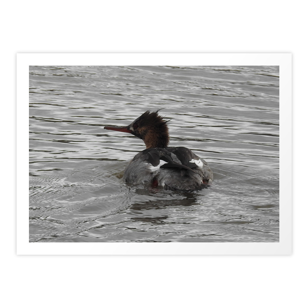 Red-Breasted Merganser Art Print by evankiddphotography (PRN8884322) photo