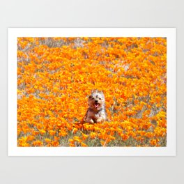 Yorkie in Poppies Art Print
