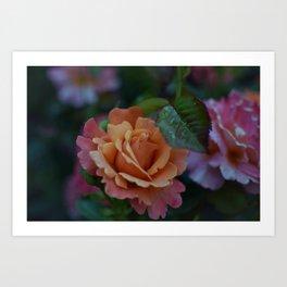 Sherbet Rose Art Print