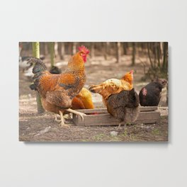 Rhode Island Red chickens eating Metal Print