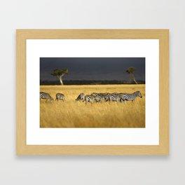 Zebra in Afternoon Light Framed Art Print