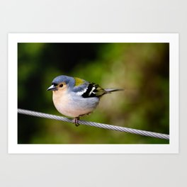 Beautiful Madeiran chaffinch bird standing one one leg at wire. Art Print
