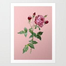 Vintage Blooming Provence Rose Botanical Illustration on Pink Art Print