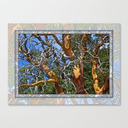 MADRONA TREE DEAD OR ALIVE Canvas Print