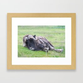 Musk Ox Lazy Day Framed Art Print
