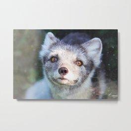 Arctic Fox 1 Metal Print