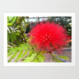 Powder Puff Tree Art Print