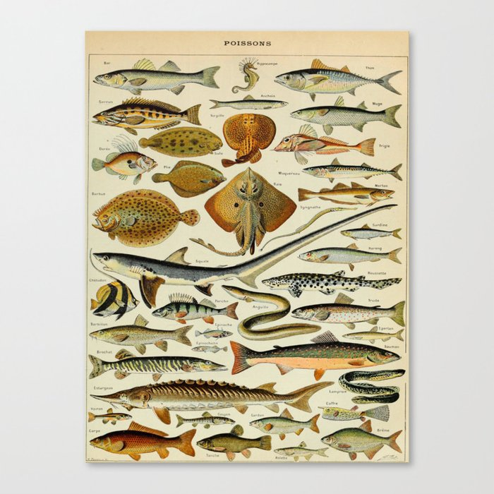 Fish Vintage Scientific Illustration French Language