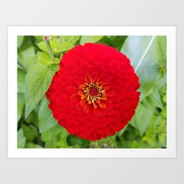 Bloomed Red Zinnia Flower Art Print