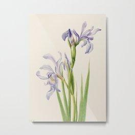 Iris Watercolor Vintage Botanical Print, Mary Vaux Walcott Metal Print