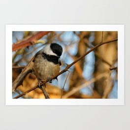 A Hungry and Hopeful Black-Capped Chickadee Art Print