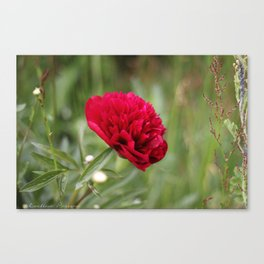 Red Peony in Bloom II Canvas Print