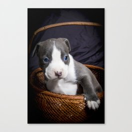 Adorable Grey and White Pitbull Puppy with Bright Blue Eyes in a Basket Canvas Print