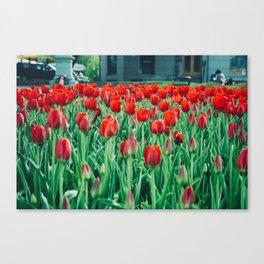 Tulips in Trondheim, Norway Canvas Print