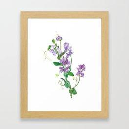 Purple Lathyrus Sweet Pea Framed Art Print