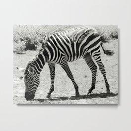 Black & White Zebra in Black & White Metal Print