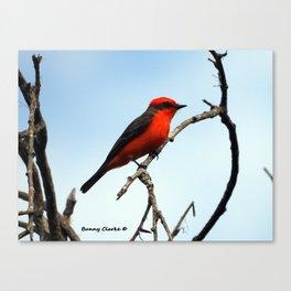Mr. Vermillion Flycatcher Canvas Print