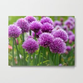 Chives in a Summer Garden Metal Print