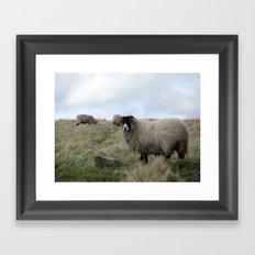 Yorkshire Dalesbred Sheep Framed Art Print