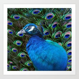 Blue Peacock and Feathers Art Print