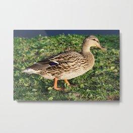 Mallard Duck in the Grass Metal Print