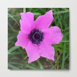 Purple Anemone - Anemone Coronaria Flower Metal Print