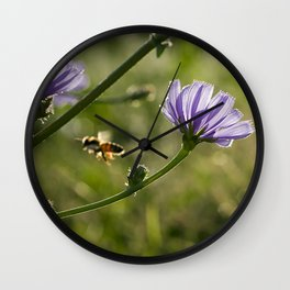 Bee flying on the Chicory flower. Wall Clock
