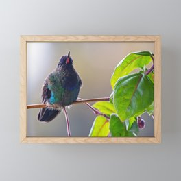 Fiery-throated Hummingbird Framed Mini Art Print