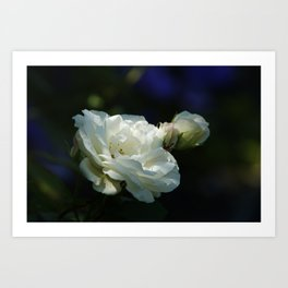 White Roses with hints of blue in the background STUNNING Photograph Art Print