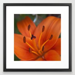 Orange Tiger Lily Framed Art Print