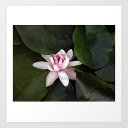 Beautiful Lotus Flower Art Print