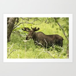 Bull Moose in Kincaid Park Art Print