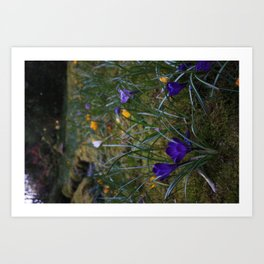 Crocus Haven Art Print
