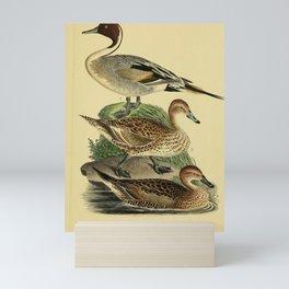 Northern Pintail Mini Art Print