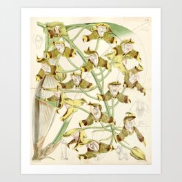 Grammangis ellisii 'Orchid' 1860 Art Print