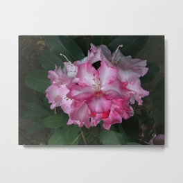 Robust Rhododenron in Pink Metal Print