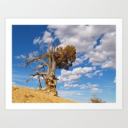 Bristlecone Pine at Bryce Canyon Art Print