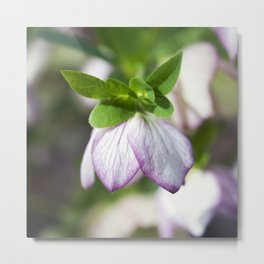 Lenten Rose Metal Print