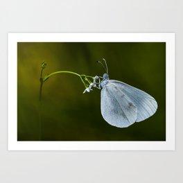 "Lady white butterfly ""Lepidea sinapis"" Art Print"