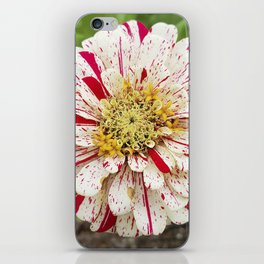 Candy Cane Zinnia iPhone Skin