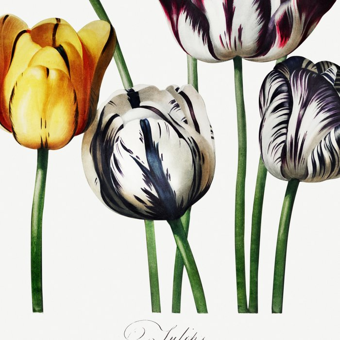 Tulips very old illustration Leggings