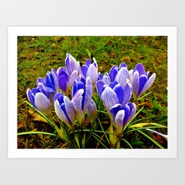 Blue Purple Crocuses Art Print