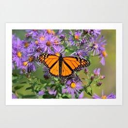Monarch Butterfly on Wild Aster Flower Art Print