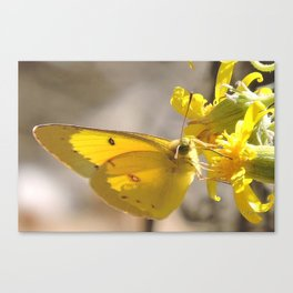 Sulphur Butterfly Imbibing Canvas Print