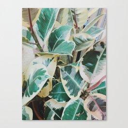 Verigated Rubber Plant Canvas Print