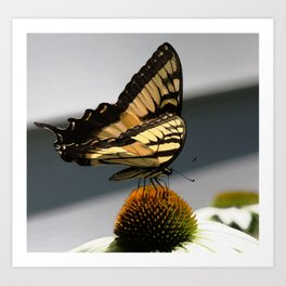 Swallowtail Butterfly on Echinacea Cone Flower Art Print