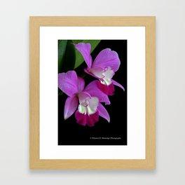 Laeliocattleya Orchid Framed Art Print